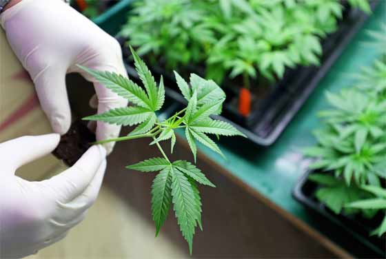 How to get a Medical Cannabis Growing License